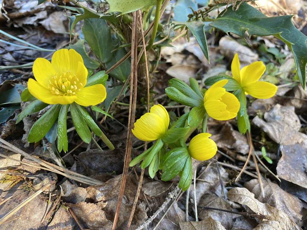 Picture of yellow winter aconite