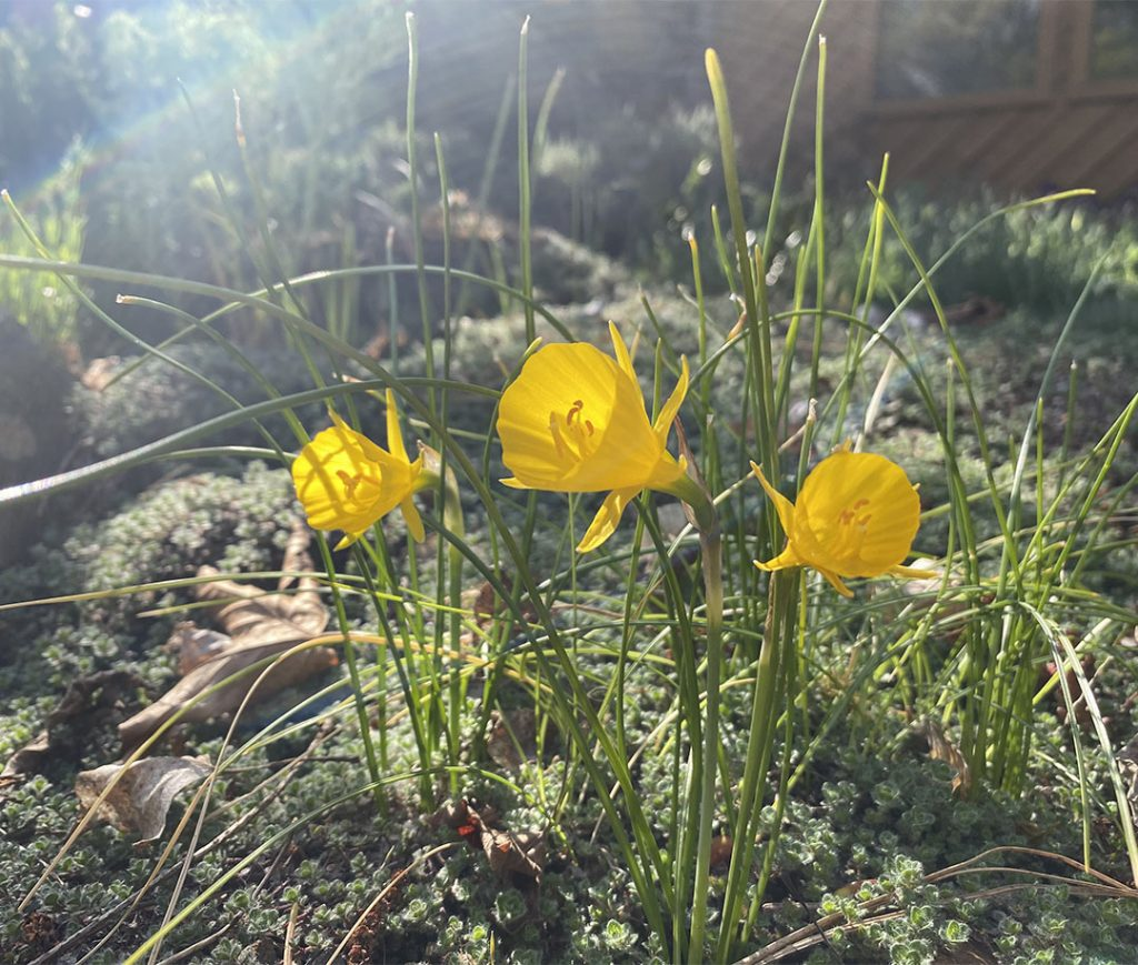 Hoop petticoat narcissus with tiny yellow flowers