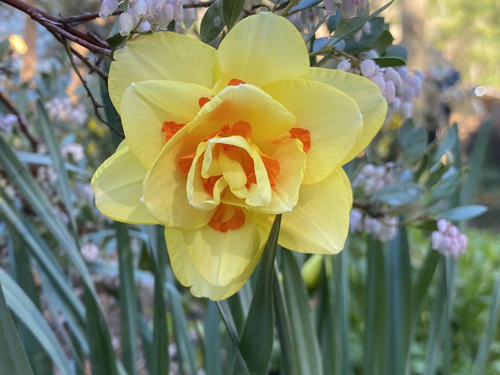 Tahiti yellow and orange double narcissus