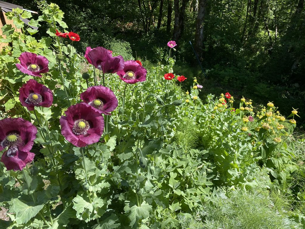 Purple and red opium poppy marching down to the creek