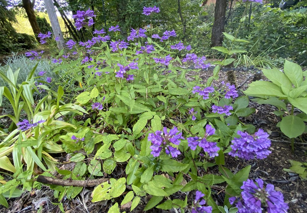 Purple flowers of Penstemon serrulatus