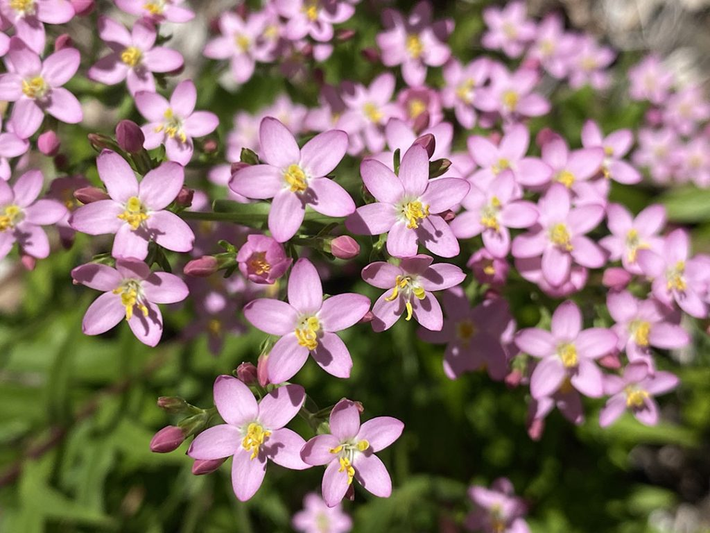 Pink, pink, pink! (and yellow) flowers of common centaury, Centaurium erythraea