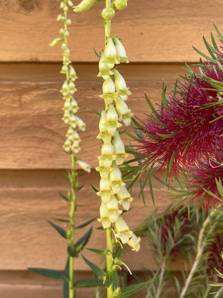 Tiny yellow flowers of Digitalis lutea