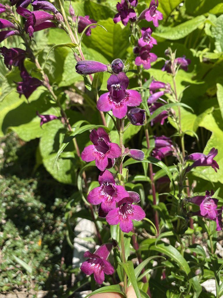 The dusky purple flowers of Penstemon 'Enor'