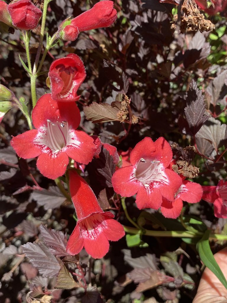 Bam! Red-in-your-face flowers of Penstemon 'Firebird'