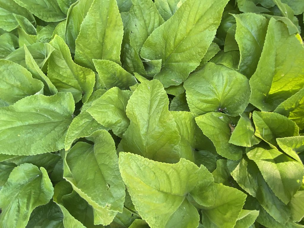Weed smothering leaves of Phlomis russeliana
