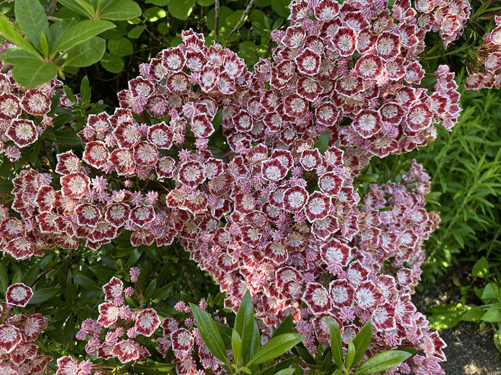 The intricately patterned flowers of Kalmia latifolia 'Minuet'