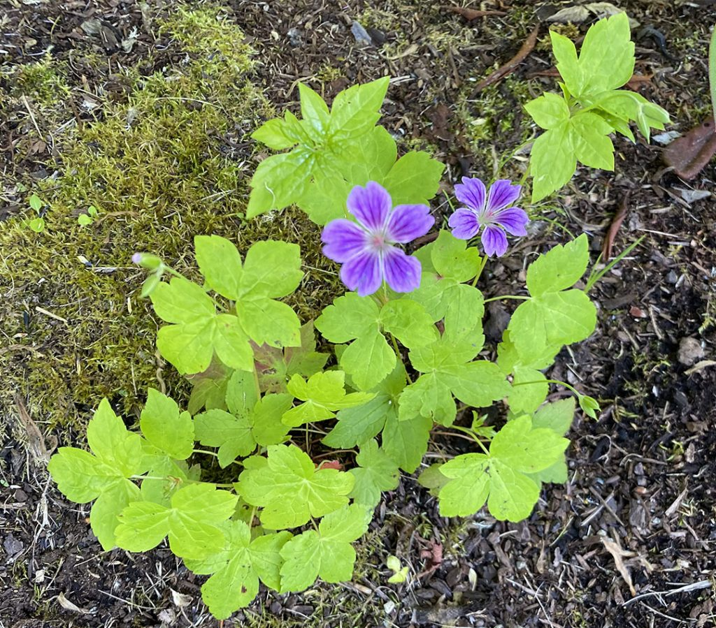 Pop of purple against chartreuse leaves on an unknown hardy geranium