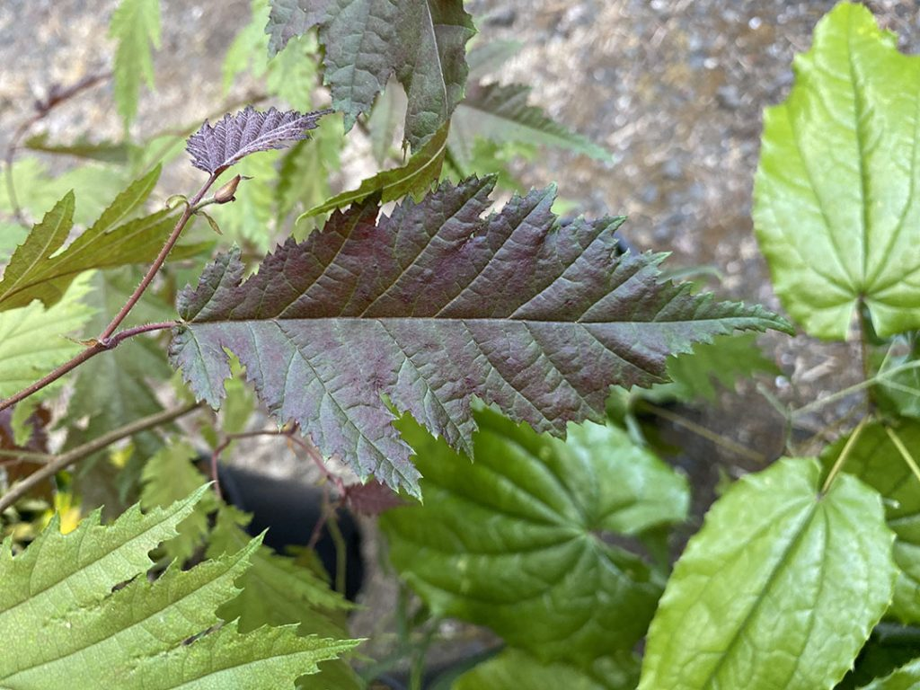 Burgundy Lace hazelnut with new leaves tinted purple