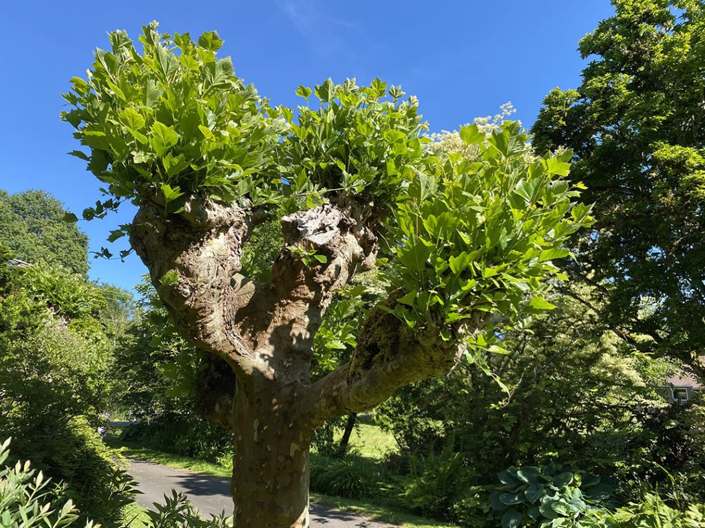 A pollarded sycamore tree flexing its arms
