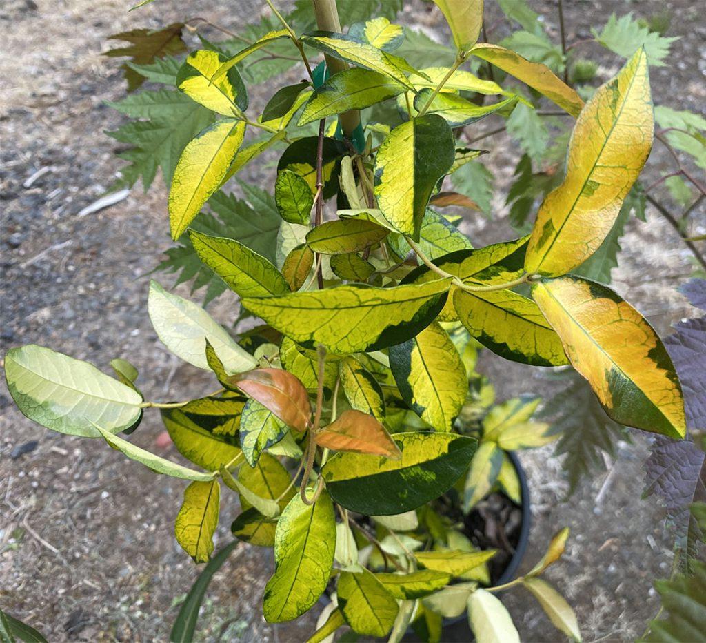 Variegation bomb of yellow, green, and orange on the leaves of Trachelospermum 'Orido Nishiki'
