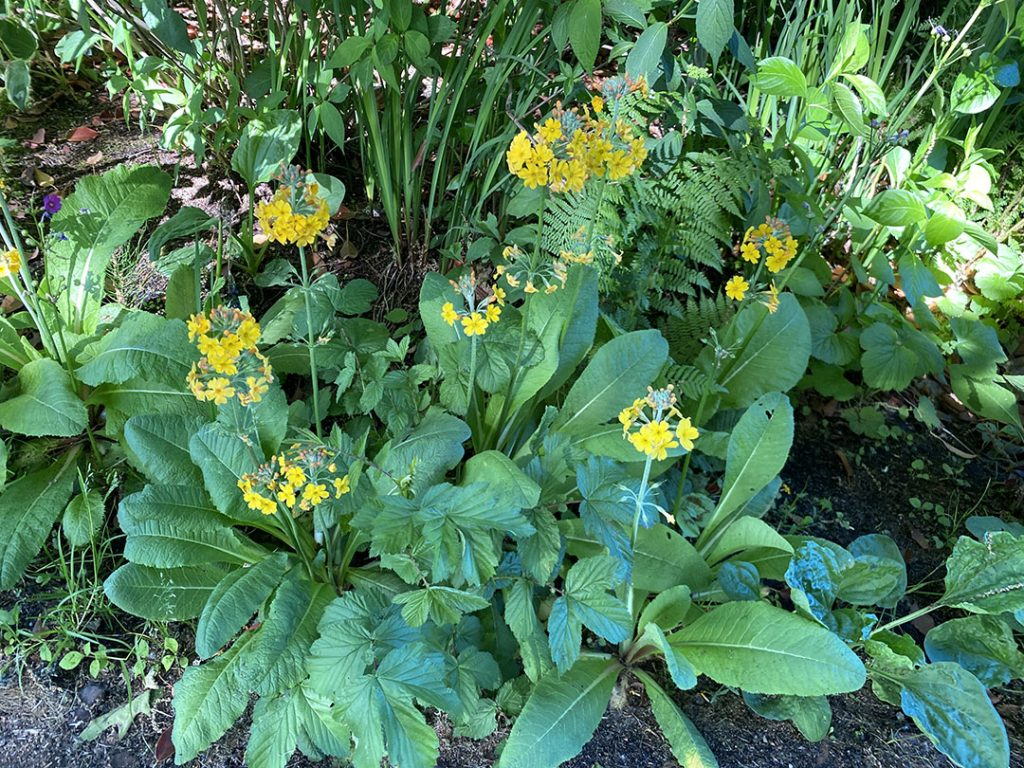 Yellow flowers of a candelabra primula