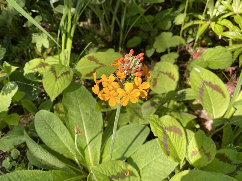 Orange flowers of a candelabra primula