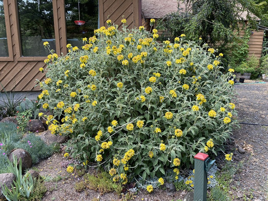 Gigantic Jerusalem sage covered with fragrant yellow flowers. A floral powerhouse.