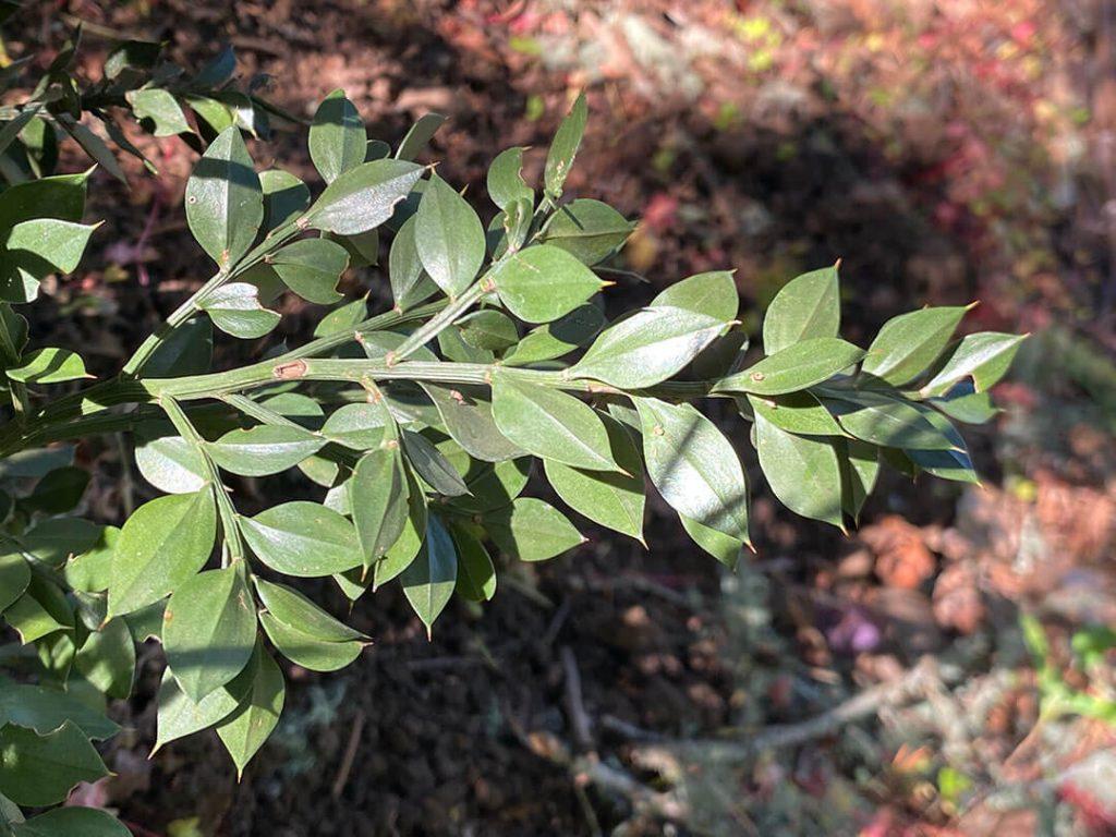 Cladodes (leaf-like stems) of butchers broom