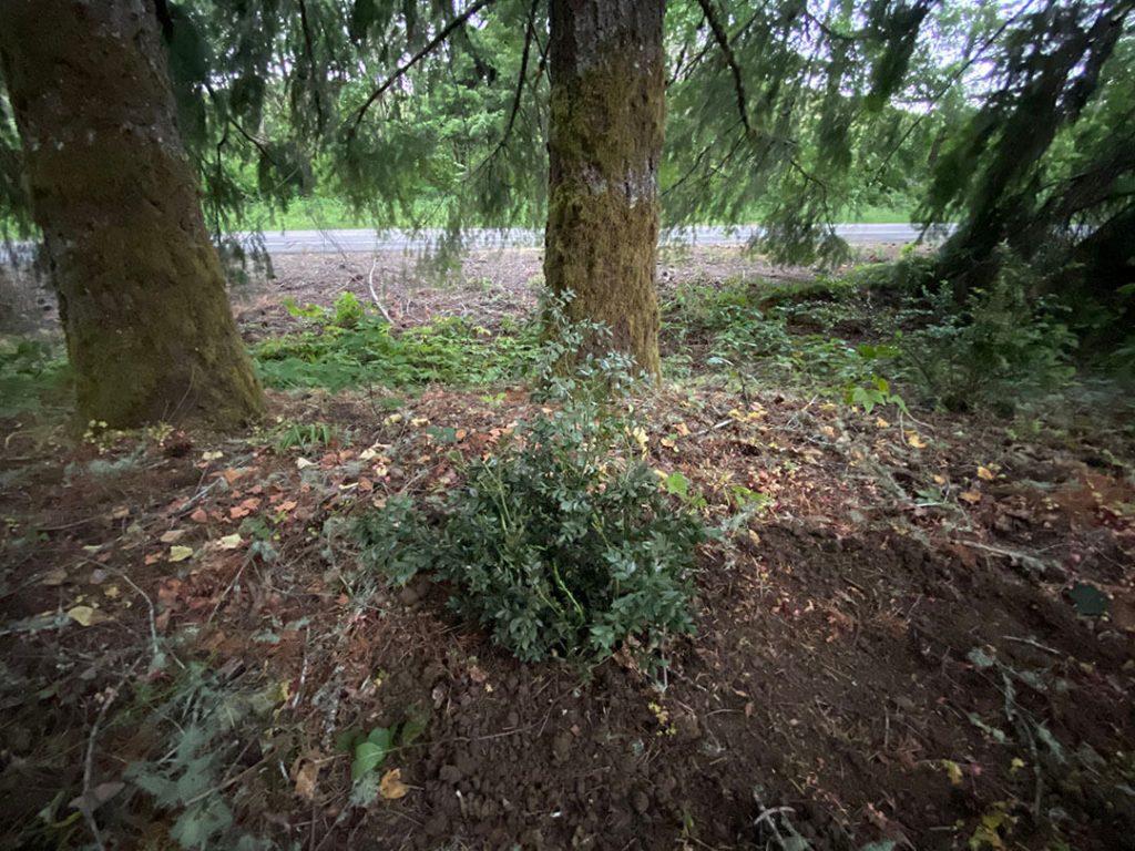 Butchers broom planted in dark dry shade under Douglasfir