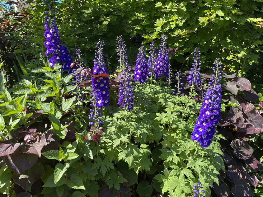 Deep, dark, purply-blue flowers of delphinium