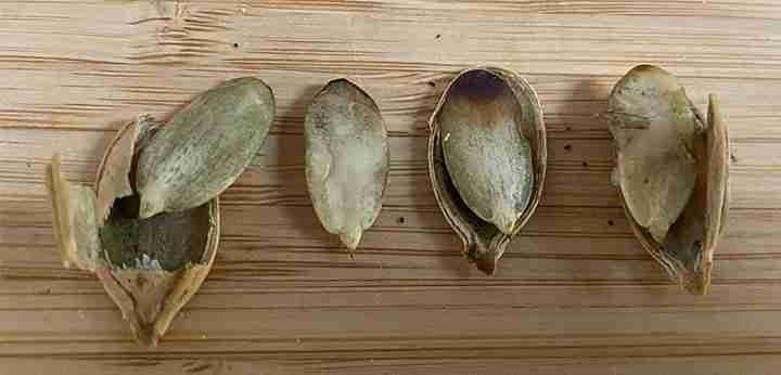Pumpkin seed embryos