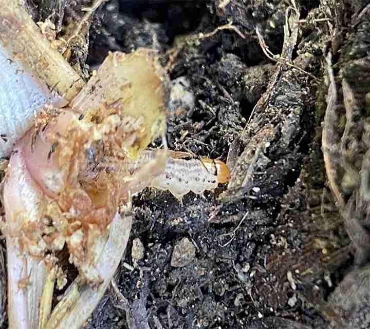 Iris borer popping out of a iris rhizome