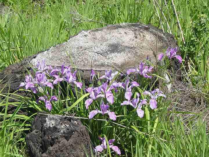 Native Oregon iris in a Douglas-fir plantation