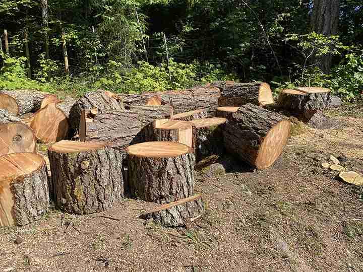 Firewood after cutting down Douglas-fir