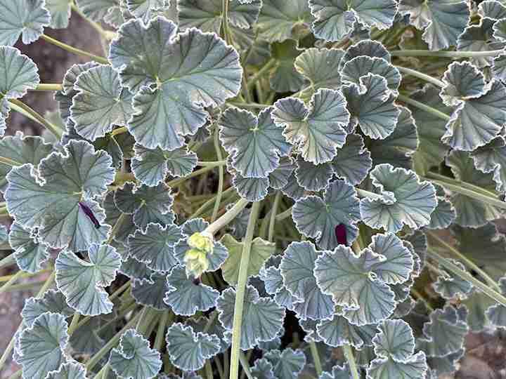 Silvery leaves of Pelargonium sidoides
