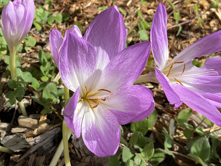 This pink colchicum started blooming September 9, 2021