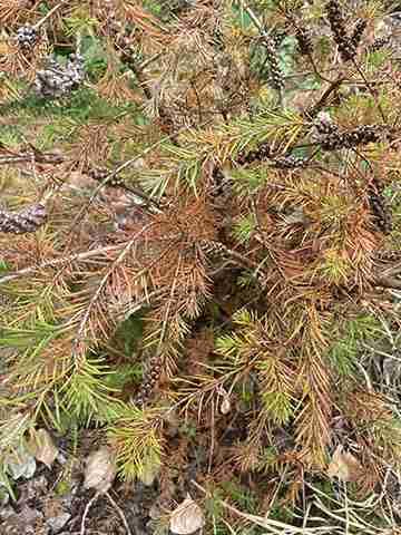 Brown leaves on the alpine bottle brush